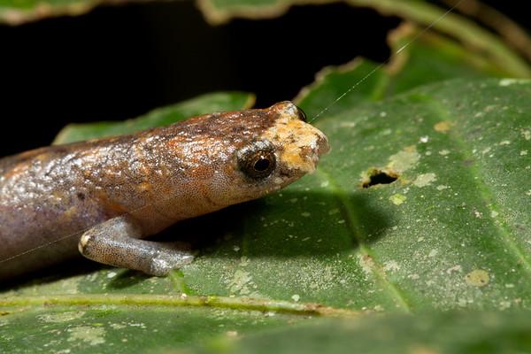 mushroom tongue salamander, Bolitoglossa cf. peruviana (Plethodontidae) walking into spider silk line. Gareno Amazon, Napo Ecuador