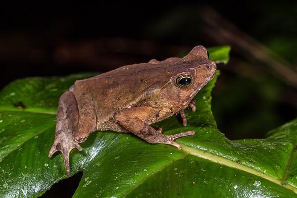 Rhinella sp. (Bufonidae). Bigal River Biological Reserve, Orellana Ecuador