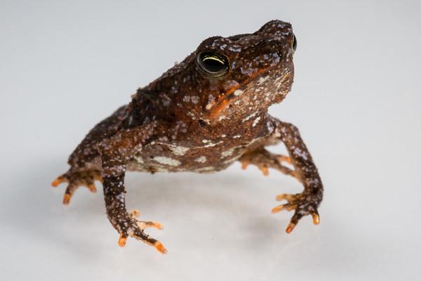 South American common toad, Rhinella margaritifera complex (Bufonidae). Bates Trail, Shiripuno, Orellana Ecuador