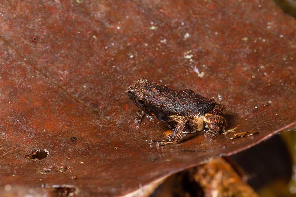 South American common toad, Rhinella margaritifera complex (Bufonidae). Colibri trail, Shiripuno, Orellana Ecuador