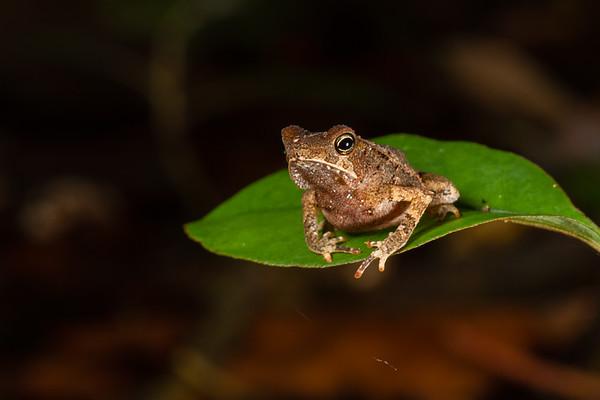 South American common toad, Rhinella margaritifera complex (Bufonidae). EO Wilson trail, Shiripuno, Orellana Ecuador