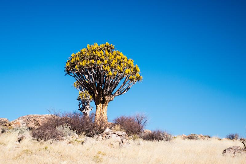 quiver tree, Aloe dichotoma (Xanthorrhoeaceae). Khomas Namibia