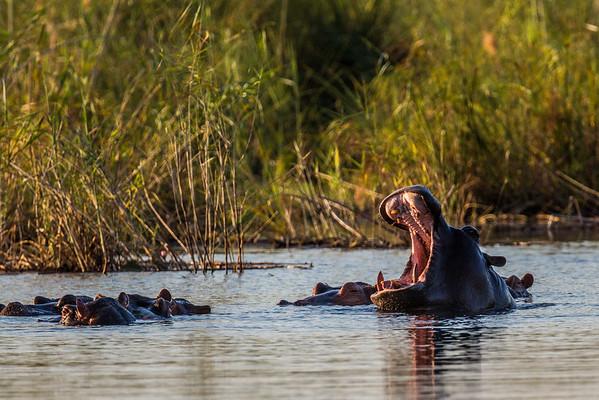 hippopotamus, Hippopotamus amphibius (Hippopotamidae). Kwando, Kavango Namibia Africa