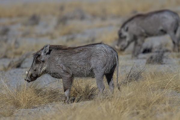 common warthog, Phacochoerus africanus (Suidae). Etosha N.P., Oshikota Namibia Africa