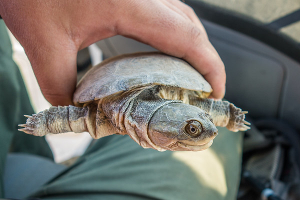 African helmeted turtle, Pelomedusa subrufa (Pelomedusidae). Etosha N.P., Oshikota Namibia