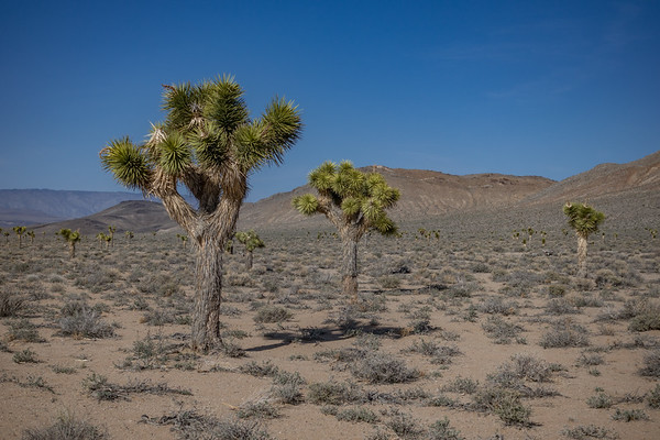 Joshua Trees, Yucca brevifolia. Darwin Hills Joshua Tree Forest, Inyo Co. California USA