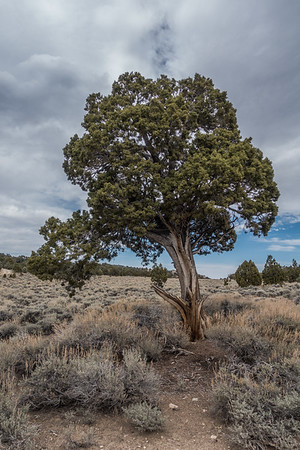 Ancient Bristlecone Pine Forest, Inyo Co. California USA