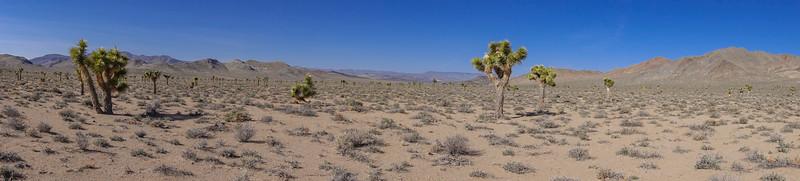 Joshua Trees, Yucca brevifolia. Darwin Hills Joshua Tree Forest, Inyo Co. California USA