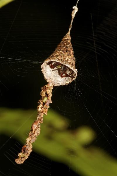 coneweb spider (Diguetidae). Gareno Amazon, Napo, Ecuador