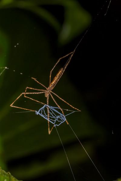 ogre-faced netcasting spider, Deinopis sp. (Deinopidae). Bigal River Biological Reserve, Orellana Ecuador