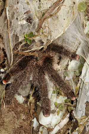 Ecuadorian wooly tarantula, Avicularia huriana (Therapsidae). Gareno Amazon, Napo, Ecuador