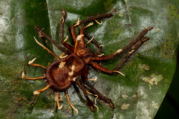 arachnophagus fungus on a spider. Gareno Amazon, Napo Ecuador