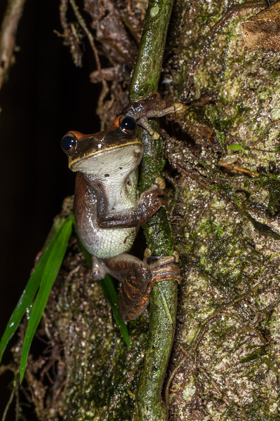 Osteocephalus planiceps (Hylidae). across river from lodge, Shiripuno, Orellana Ecuador