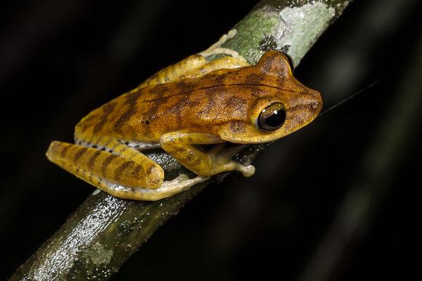 Hypsiboas calcaratus complex (Hylidae). Colibri to Bates loop, Shiripuno, Orellana Ecuador