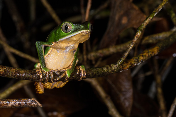 white-lined monkey frog, Phyllomedusa vaillanti (Hylidae). across river from lodge, Shiripuno, Orellana Ecuador