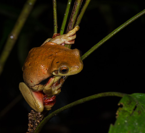 Surinam golden-eyed tree frog, Trachycephalus coriaceus (Hylidae). across river from lodge, Shiripuno, Orellana Ecuador