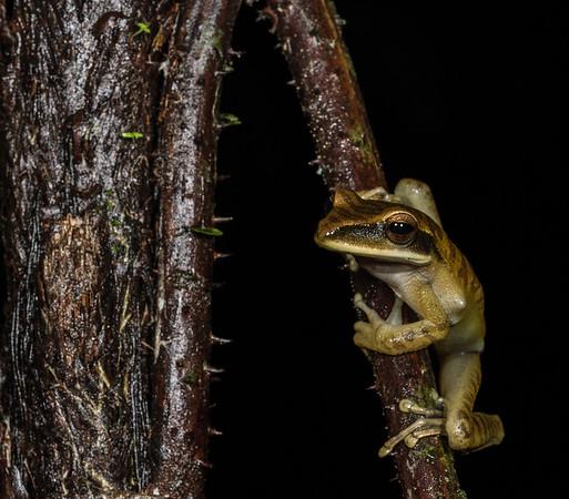 basin tree frog, Hypsiboas lanciformis sp. (Hylidae). Colibri to Bates loop, Shiripuno, Orellana Ecuador