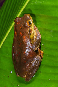 Surinam golden-eyed tree frog, Trachycephalus coriaceus (Hylidae). across river from lodge, Shiripuno, Orellana Ecuador