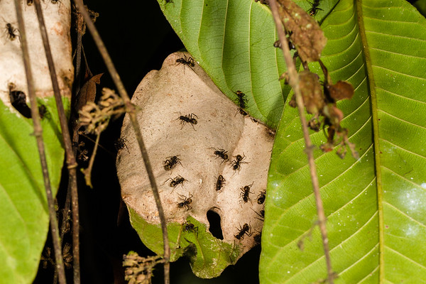 (Formicidae). Shiripuno, Orellana Ecuador