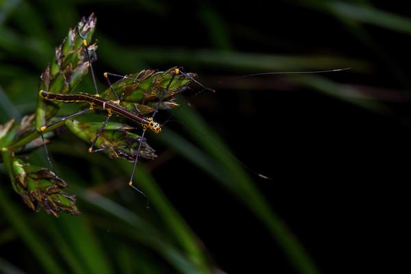 female Oreophoetes peruana (Diapheroeridae).Bigal River Biological Reserve, Orellana Ecuador