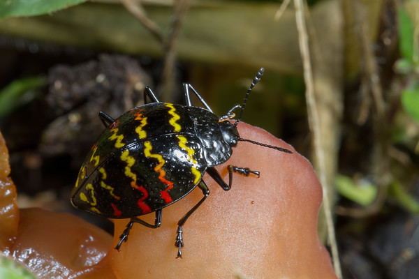 zigzag fungus beetle, Erotylus incomparabilis (Erotylidae). Narupa, Napo Ecuador