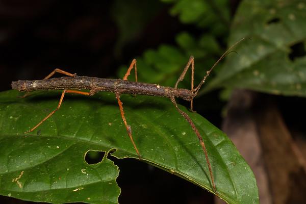 phasmid (Phasmatodea). EO Wilson trail, Shiripuno, Orellana Ecuador