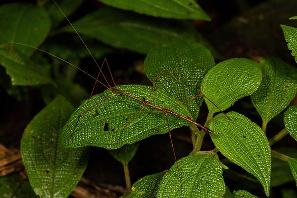 phasmid (Phasmatodea). Colibri trail, Shiripuno, Orellana Ecuador