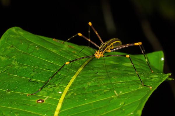 Oreophoetes peruana (Diapheromeridae). unnamed trail, Shiripuno, Orellana Ecuador