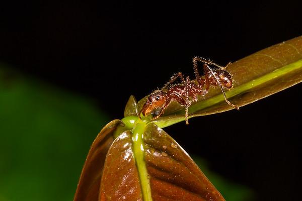 Ectatomma tuberculatum (Formicidae) at Inga sp. extrafloral nectary. unnamed trail, Shiripuno, Orellana Ecuador