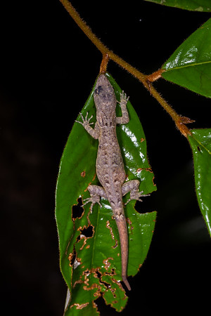 gecko, Gonatodes humeralis (Sphaerodactylidae). Colibri trail, Shiripuno, Orellana Ecuador