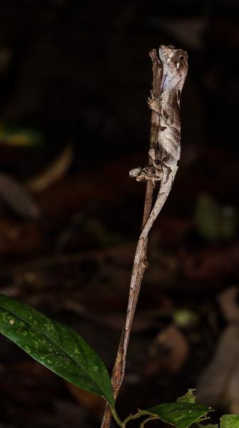 yellow-tongued anole, Anolis scypheus (Dactyloidae).  EO Wilson trail, Shiripuno, Orellana Ecuador