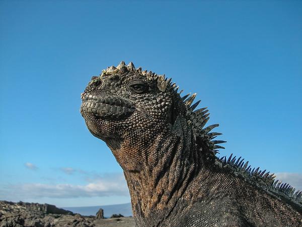 marine iguana, Amblyrhynchus cristatus (Iguanidae). Punta Espinosa, Isla Fernandina, Galapagos Islands Ecuador