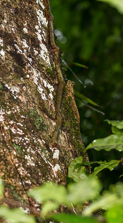 collared tree lizard, Plica plica (Tropiduridae). unnamed trail, Shiripuno, Orellana Ecuador