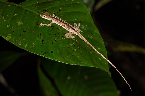 Anolis sp. (Dactyloidae). Colibri trail, Shiripuno, Orellana Ecuador