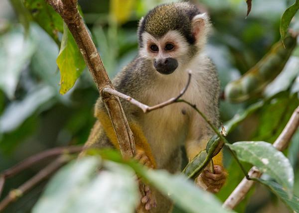 common squirrel monkey, Saimiri sciureus sciureus (Cebidae). Oxbow lake, Shiripuno, Orellana Ecuador