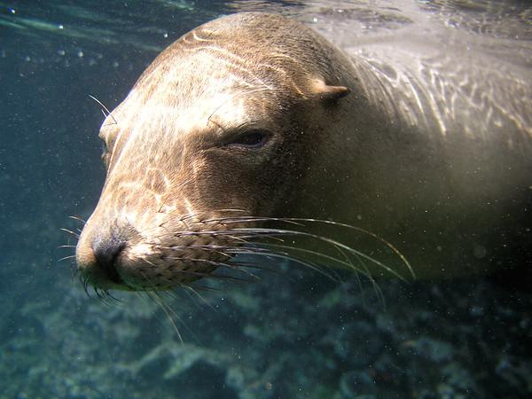 Galapagos Sea Lion Zalophus wollebaeki (Otariidae). Isla Bartolome, Galapagos Islands Ecuador