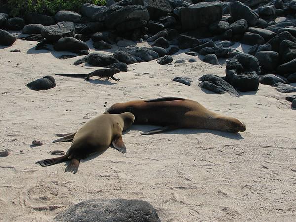 Galapagos sea lion, Zalophus wollebaeki (Otariidae). Isla Espanola, Galapagos Ecuador