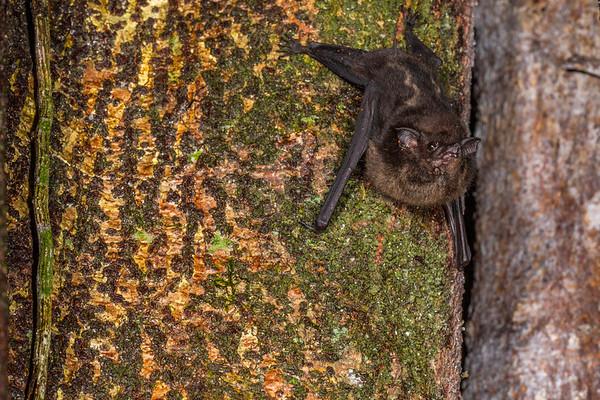 greater (white-lined) sac-winged bat, Saccopteryx bilineata (Emballonuridae) covered in red mites (Acari) roosting on strangler fig. Bates Trail, Shiripuno, Orellana Ecuador