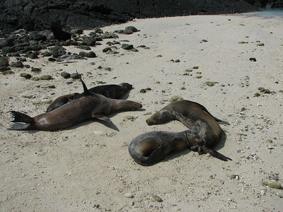 Galapagos sea lion, Zalophus wollebaeki (Otariidae). Darwin Bay, Isla Genovesa, Galapagos Ecuador