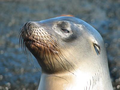 Galapagos sea lion, Zalophus wollebaeki (Otariidae). Punta Espinosa, Isla Fernandina, Galapagos Ecuador