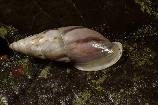 snail (Gastropoda). Colibri trail, Shiripuno, Orellana Ecuador