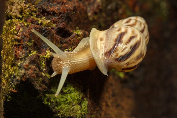 snail. Jatun Sacha Estacion Biologica, Napo Ecuador