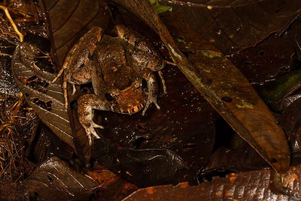 Leptodactylus discodactylus (Leptodactylidae). Bates trail, Shiripuno, Orellana Ecuador