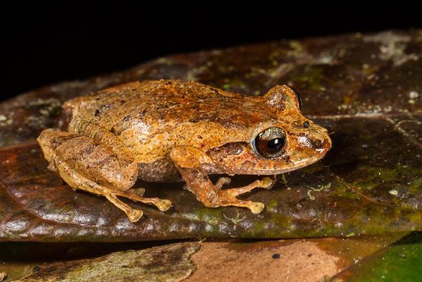 juvenile, Pristimantis sp. (Craugastoridae). Bates trail. Shiripuno, Orellana Ecuador