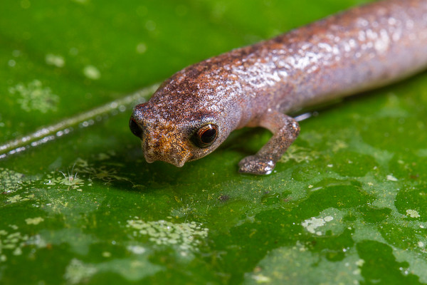 mushroom tongue salamander, Bolitoglossa cf. peruviana (Plethodontidae). Shiripuno, Orellana Ecuador