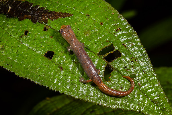mushroom tongue salamander, Bolitoglossa cf. peruviana (Plethodontidae). Colibri to Bates loop, Shiripuno, Orellana Ecuador