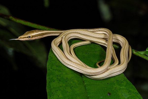juvenile lance-headed vine snake, Xenoxybelis argenteus (Colubridae). Colibri trail, Shiripuno, Orellana Ecuador