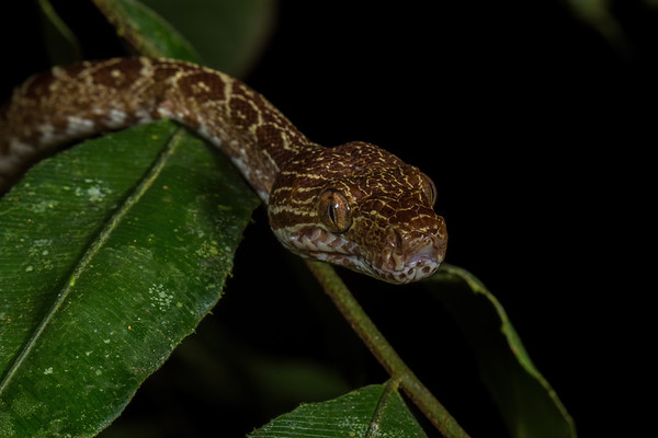 Amazon tree boa, Corallus hortulanus (Boidae). EO Wilson trail, Shiripuno, Orellana Ecuador