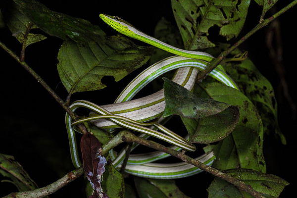 lance-headed vine snake, Xenoxybelis argenteus (Colubridae). Bates trail, Shiripuno, Orellana Ecuador