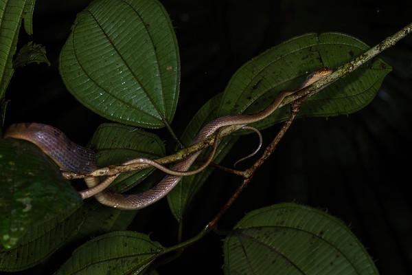 banded cat-eyed snake, Leptodeira annulata (Colubridae). Colibri trail, Shiripuno, Orellana Ecuador
